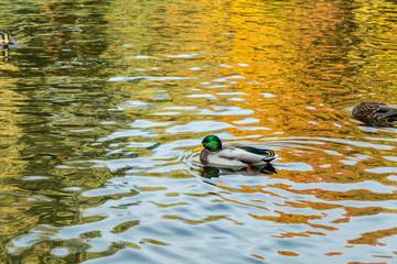 Drake swimming in the city park lake
