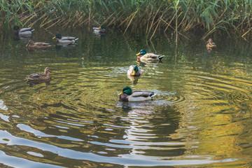 Ducks swimming in the city park lake