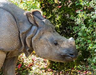 Indisches Panzernashorn - Rhinoceros unicornis