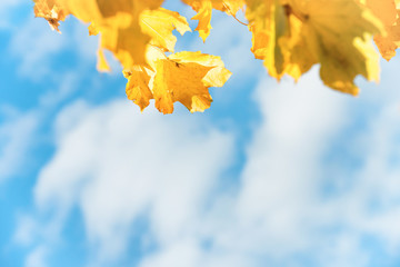 Yellow autumn leaves with blue sky and white clouds on background