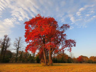 Sassafras tree in autumn with fall foliage, bright red colors