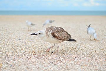 Angry European herring gull,  Larus argentatus on the beach. Immature herring gull is focused, other gulls are blurred