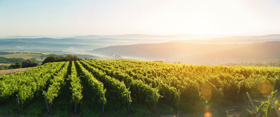 Extra wide panoramic shot of a summer vineyard shot at sunset Wall mural