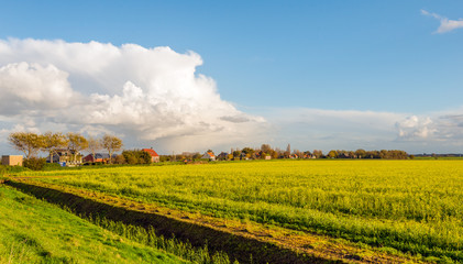 Dutch rural landscape with yellow blooming rapeseed