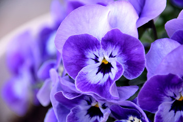 Photo sur Toile Pansies Pansy - Viola x wittrockiana.
