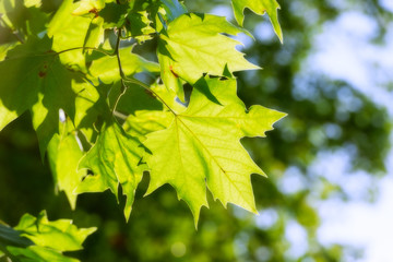 Maple green leaves in the back light