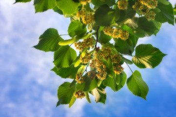 Lime blossom green leaves against blue sky background
