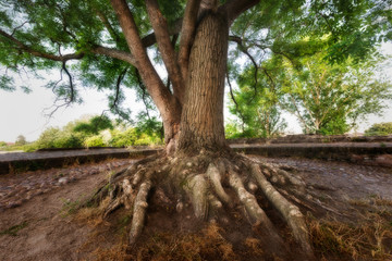 An old tree with a spectacular rhizome