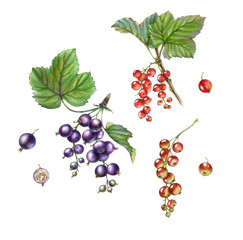 Watercolor illustrations with different berries isolated on the white background: red currant, black currant, leaves
