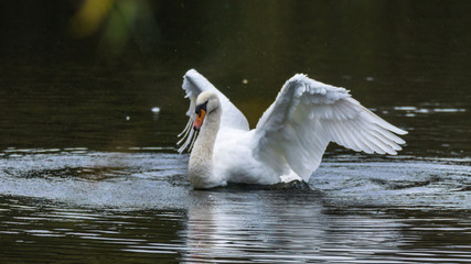 Swan drying its wing feathers