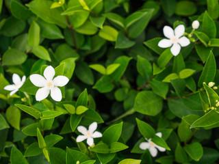 The White Gardenia Flower Blooming