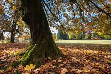 Maple tree leaves foliage background