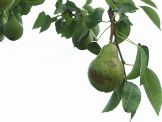 Green pears hanging on a growing pear tree against white background . Tuscany, Italy