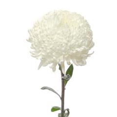 flower white chrysanthemum
