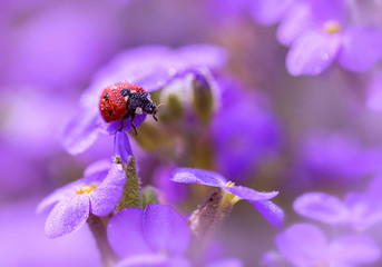 In lilac colors.Ladybug in dew drops on lilac colors.