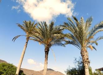 Palmen auf Fuerteventura