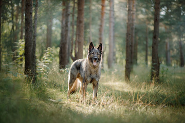 Dog Eastern European shepherd dog in the forest