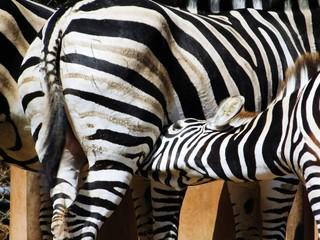 Zebra Mutter füttert Junges
