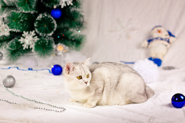 Christmas background with scottish cat.