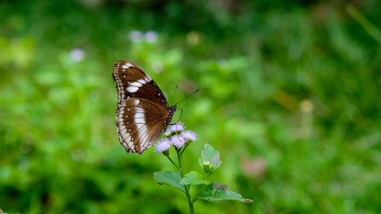 Limenitis camilla, the white admiral, The brown butterfly with white band fly around purple flower