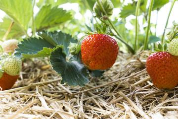 Bush of fresh ripe red strawberry in the field