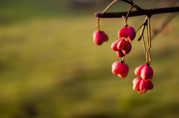Red berries on the branch during sunset, Euonymus