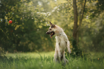 Dog breed walking on the nature
