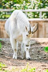 White Rocky Mountain goat (Oreamnos americanus). Male