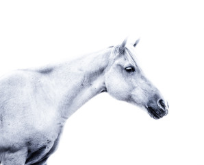 White horse on white background
