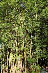Bambusa vulgaris in Brisbane City Botanic Gardens, Queensland Australia