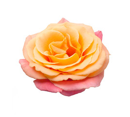 Flower, pink/yellow rose, isolated whit white background