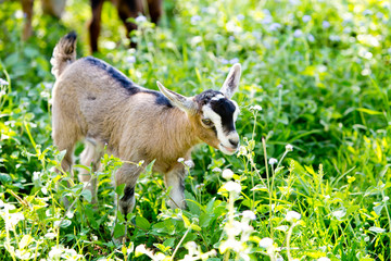 Young beige miniature goat kid, part pygmy in meadow