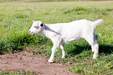 Young white miniature goat kid in grassy field