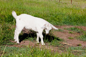 Part pygmy young white goat kid