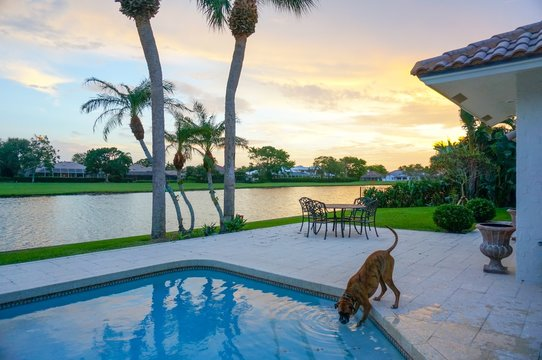dog drinks out of a swimming pool at sunset with palm trees