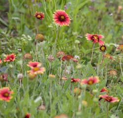 Red Daisies in Field
