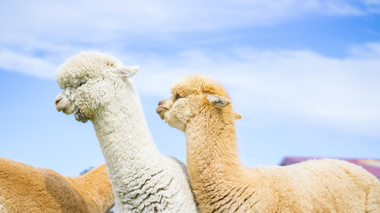 The adorable alpacas in Newzealand