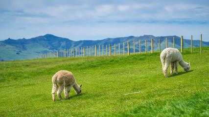 The adorable alpacas in Newzealand
