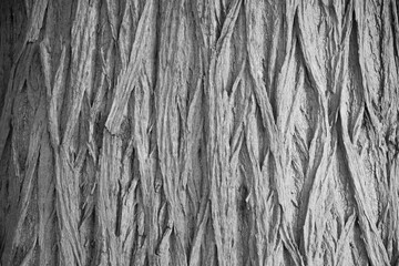 grey background from the bark of a tree trunk textured.