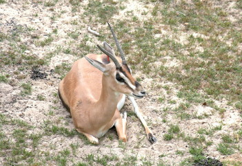 Gazelle at Rest