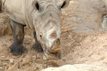 Rhino by Mud pit