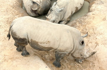 Three Rhinos from Above