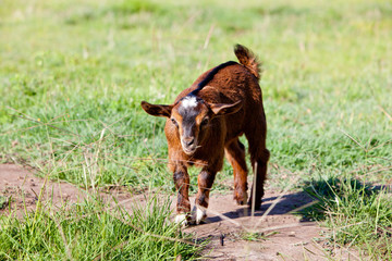 Young part pygmy brown goat kid