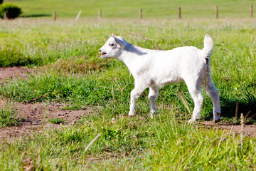 Young white miniature goat kid in field