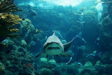 A tiger shark heads straight towards the camera in an underwater dive experience