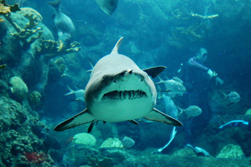 Underwater - Tiger Shark Swimming Straight for the Camera