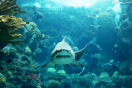 A tiger shark swims straight for the camera in an exotic ocean scene