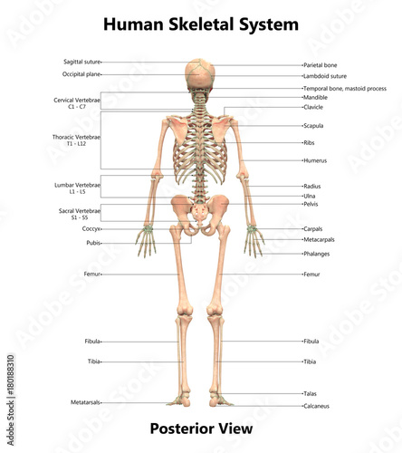 Human Skeletal System Anatomy with Detailed Labels Posterior View ...
