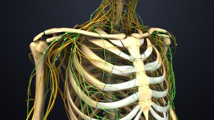 Rib cage with Lymph Nodes