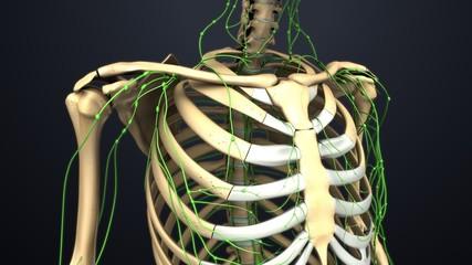 Shoulder bones with Lymph nodes